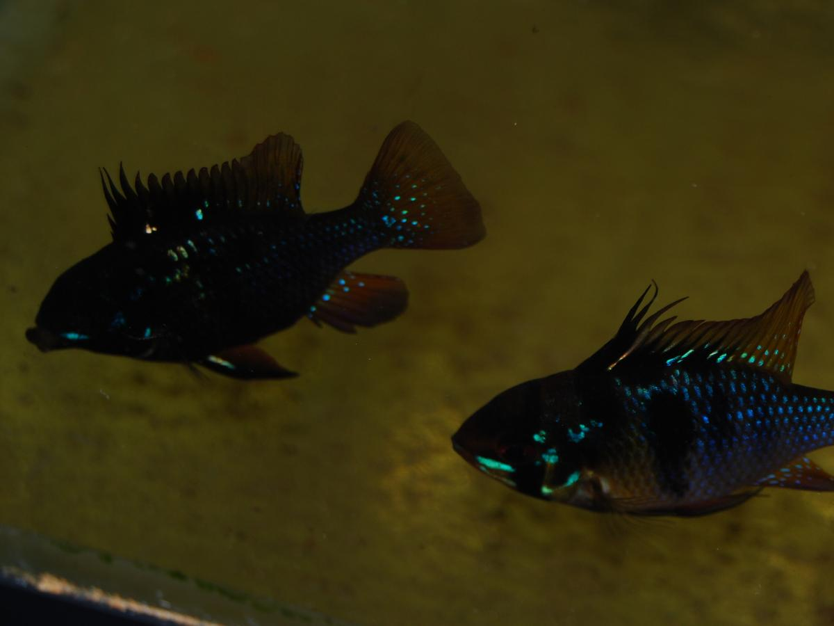 Black Ram Up Date Other Fish Discussions Canadapleco