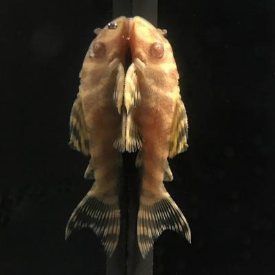 L333-Albino.jpg